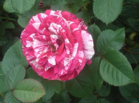 Redwhite_rose