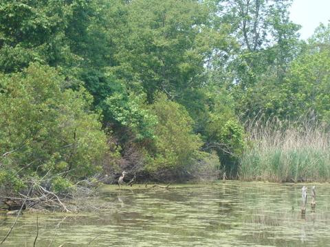 Swamp_crane